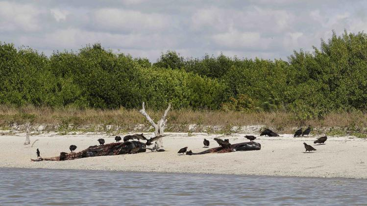 Vultures and dead pilot whales that beached themselves and became stranded in Everglades National Park, are seen on the southwestern Florida coast