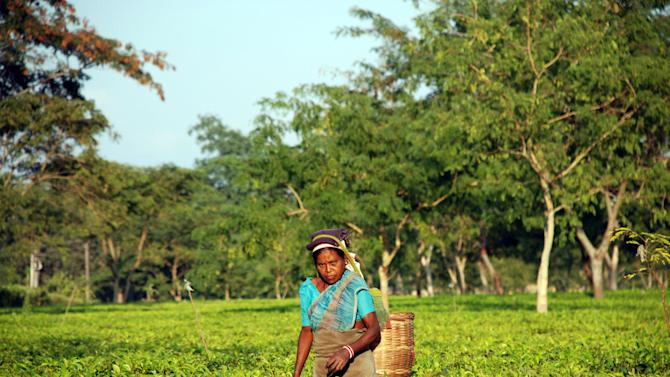 In this photo taken Dec. 4, 2012, a plucker on the Addabarie Tea Estates pauses among the bushes in Balipara, India. Only women are used to gather tea in India because their nimble fingers and hands are ideal for plucking the leaves. (AP Photo/Denis Gray)