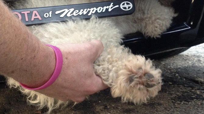 This Sept. 20, 2012 photo provided by the East Providence, R.I., Animal Control Center shows animal control officers removing a female poodle mix from under a car's front grill. The dog survived an 11-mile ride from Taunton, Mass., to East Providence after darting into the street. The driver slammed on the brakes, but didn't see the dog and continued driving. Authorities are trying to locate the dog's owner.  (AP Photo/East Providence Animal Control Center)