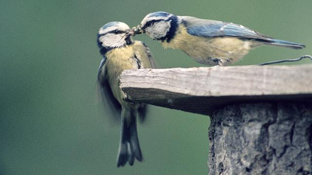 DNA Shows It: Birds Are Promiscuous