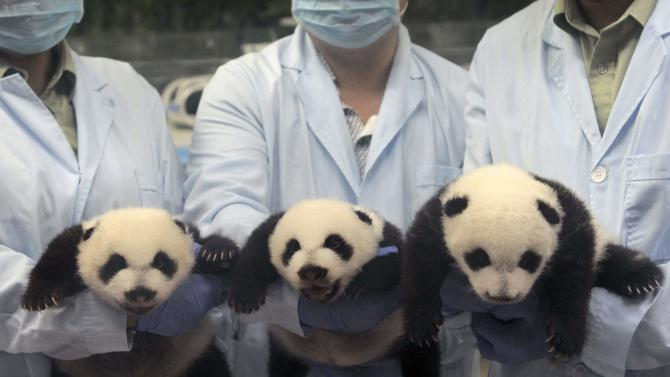 Feeders pose for photographs as they hold giant panda triplets, which recently opened their eyes, at Chimelong Safari Park in Guangzhou