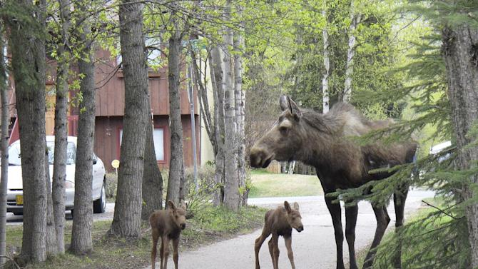 In this photo taken May 20, 2012, in Anchorage, Alaska, a cow moose with newborn twins walks on a trail that cuts through the city. State wildlife biologists are warning about the dangers of Alaska's spring calving system after several people were injured in the past week by protective moose, including a 6-year-old girl who was stomped in the Anchorage suburb of Eagle River, Alaska. (AP Photo/Mark Thiessen)