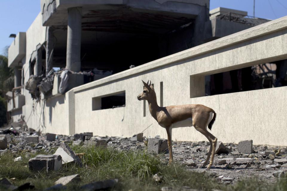 In this photo taken on a government-organized tour, a gazelle stands in front of a bomb damaged residence in Tripoli, Libya, Friday, Aug. 19, 2011. Several  explosions shook the capital early Friday as NATO jets were heard circling overhead. (AP Photo/Dario Lopez-Mills)