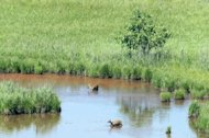 Roe deers, seen from a South Korean guard post in Cheorwon near Seoul, stand in a pond in the Demilitarised Zone that divides the Korean peninsula. An unlikely and unique cradle of biodiversity that runs the length of the world's most heavily-militarised border is being threatened by encroaching development, conservation experts say