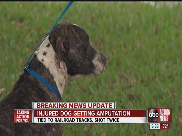 Dog stable after being shot, tied to Florida train tracks
