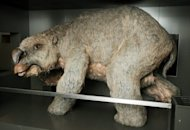 "A reconstructed model of a ""diprotodon"", an ancient rhino-sized mega-wombat, is seen at the Australian Museum in Sydney on Thursday. Australian scientists Thursday unveiled the biggest-ever graveyard of diprotodons, with the site potentially holding valuable clues on the species' extinction. The remote fossil deposit in outback Queensland state is thought to contain up to 50 diprotodon skeletons"