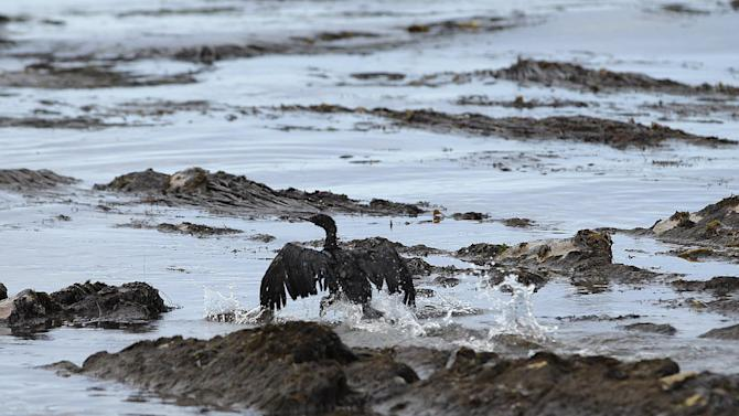 FILE - In this May 21, 2015 file photo, a bird covered in oil flaps its wings at Refugio State Beach, north of Goleta, Calif. As thousands of gallons of crude oil from a ruptured pipeline spread along the California coast, its operator was unable to contact workers near the break to get information required to alert federal emergency officials, records released Wednesday, June 24, 2015 said. (AP Photo/Jae C. Hong, File)