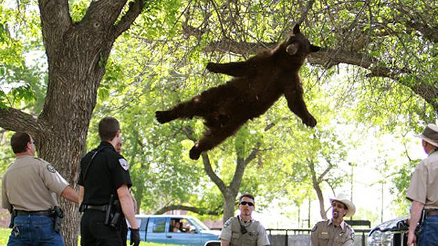 Sedated bear falling out of tree