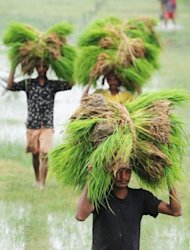 Indian farmers carry young rice plants on their heads prior to planting at a paddy field in Canning village, near Kolkata. India's once-booming economy grew just 5.3% between January and March, its slowest annual quarterly expansion in nine years