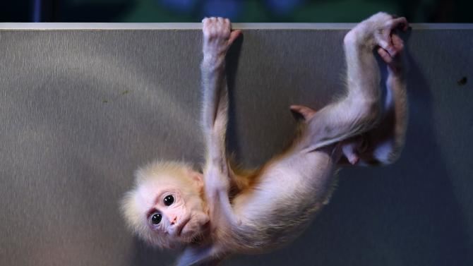 Maomao, a 2-month-old stump-tailed macaque cub, hangs from the edge of a wooden box which serves as her temporary enclosure, at a wild animal park in Hangzhou