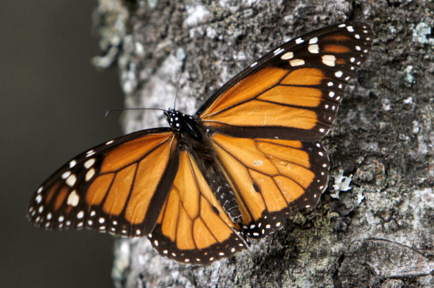 FILE - In this Dec. 9, 2011, file photo a Monarch butterfly sits on a tree trunk at the Sierra Chincua Sanctuary in the mountains of Mexico&#39;s Michoacan state. The amount of Monarch butterflies wintering in Mexico dropped 59 percent in 2013, falling to the lowest level since comparable record-keeping began 20 years ago, scientists reported Wednesday, March 13, 2013. (AP Photo/ Marco Ugarte, file)