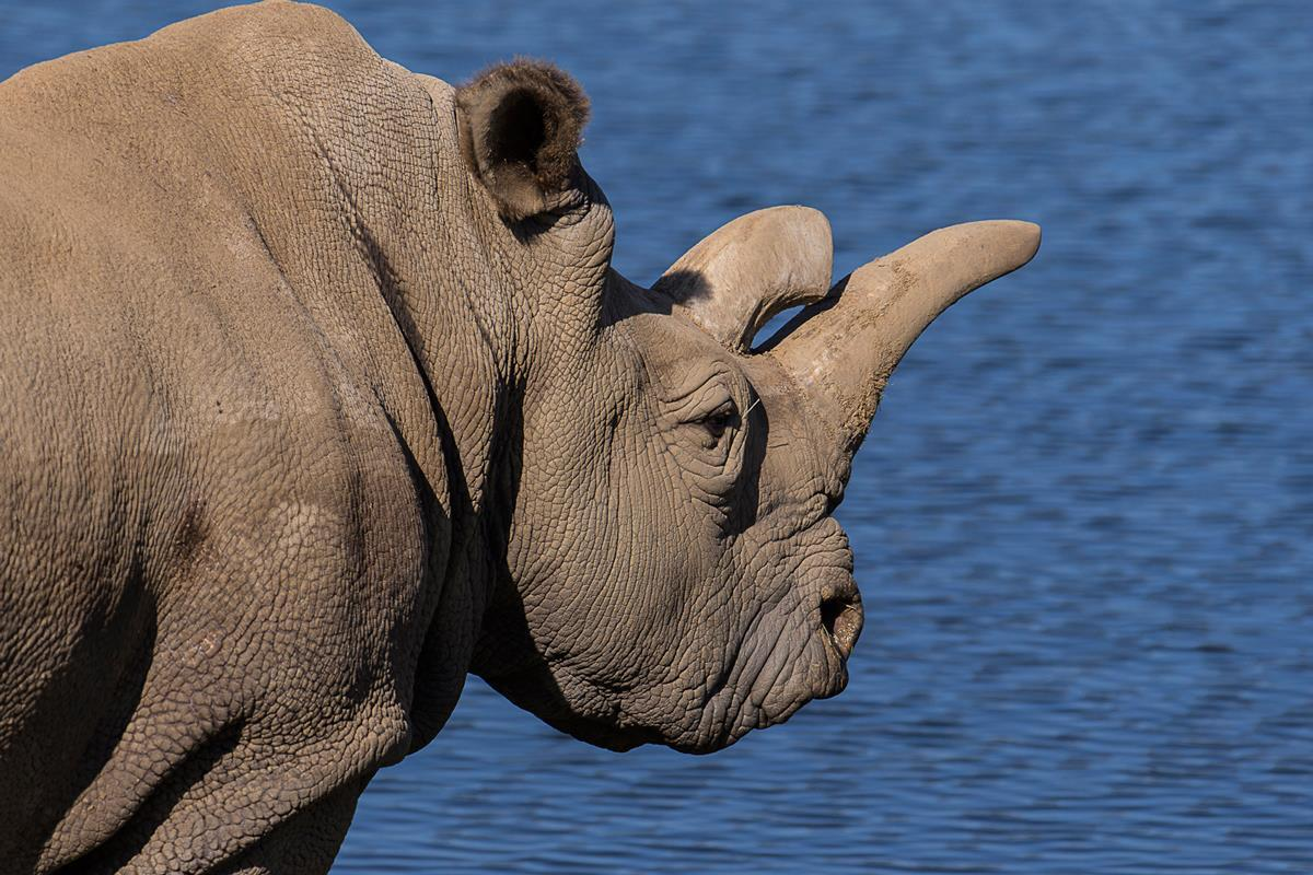 Endangered Rhino Dies at California Zoo, Only 3 Worldwide