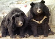 Two South Korean black bears sits idle at a zoo in Kwachon, south of Seoul, in 2001. South Korean police shot dead one bear and another was on the run after the pair of female six-year-olds escaped from a farm on the outskirts of Seoul on Saturday, a report said