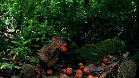 Thieving Rodents Explain Tree Survival Mystery
