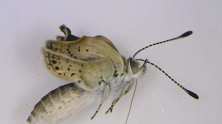In this undated photo taken by Chiyo Nohara at University of the Ryukyus and released by the university, an adult pale grass blue butterfly collected near the crippled Fukushima Dai-ichi nuclear power plant is shown with dented eyes and stunted wings at the university laboratory in Nishihara,  Okinawa, southern Japan. Japanese researchers said they found mutations in butterflies caused by radiation from the power plant. A member of the team conducting the research, Joji Otaki of the university, said Wednesday, Aug. 15, 2012, that his group's findings show radiation emitted following catastrophic meltdowns in three of the plant's reactors after it was damaged by a 9.0-magnitude earthquake and tsunami on March 11, 2011 is affecting the environment. (AP Photo/Chiyo Nohara of University of the Ryukyus) NO SALES, MANDATORY CREDIT, EDITORIAL USE ONLY