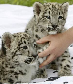 Two baby snow leopards Eter and Fala  make their debut at the zoo in Warsaw, Poland, Monday, July 18, 2011. The cats were rejected by their mother after they were born in May and are being fed and otherwise cared for by zoo employees. On Monday they took their first walk outdoors. (AP Photo/Czarek Sokolowski)