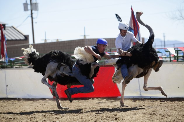 Murley falls off his ostrich as Sisson looks on during ostrich race at the annual Ostrich Festival in Chandler