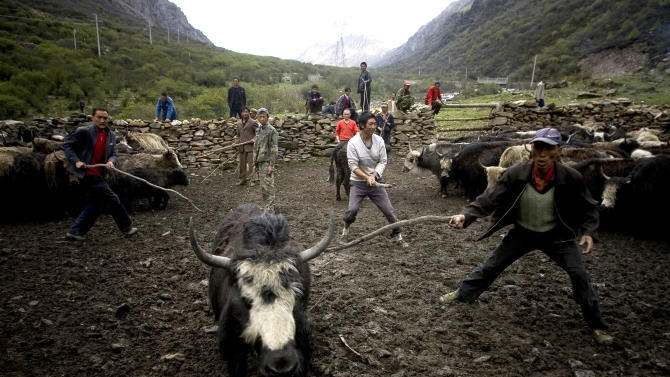 FILE - In this June 11, 2008 file photo, Chinese Tibetan ethnic herdsmen try to catch a yak for sale in Dengsheng of Aba, China's southwest Sichuan province. Tibetans can thank an extinct human relative for providing a gene that helps them adapt to the high altitude, according to a study released on Wednesday, July 2, 2014. (AP Photo/Alexander F. Yuan, File)
