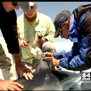 Week Of Sharks: Tracking Mako Sharks Off New England