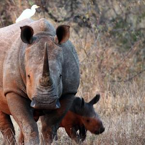 Another White Rhino Just Died, Leaving Only 5 Left