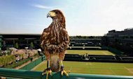 Stolen Wimbledon Hawk Rufus Returned