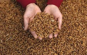 Ai Baorong, who raises flies and yellow mealworms, displays yellow mealworms at her small farm in Jiyang County, east China's Shandong province April 11, 2007. REUTERS/Stringer/Files