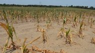 Sweltering Heat May Wreak Havoc on Corn Crops (ABC News)