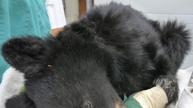 """FILE - This undated file photo provided by the Idaho Department of Fish and Game shows a cub black bear burned in the Mustang Fire north of Salmon, Idaho. The cub is recovering and may be released in June, an Idaho wildlife sanctuary an official said. The four-month-old bear nicknamed """"Boo Boo"""" was discovered by a fisherman in a tree along the Salmon River in August days after the 312-square-mile Mustang wildfire complex passed through the area. The cub had second-degree burns on all four paws and was malnourished when U.S. Forest Service and Idaho Fish and Game workers rescued it. (AP Photo/Idaho Department of Fish and Game, Tricia Hebdon, File)"""