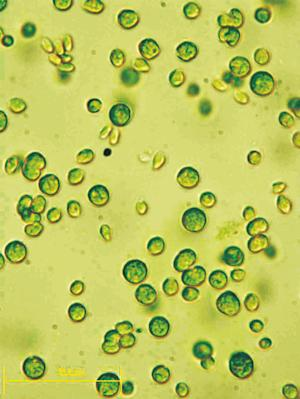 Algae Chows Down on Other Plants