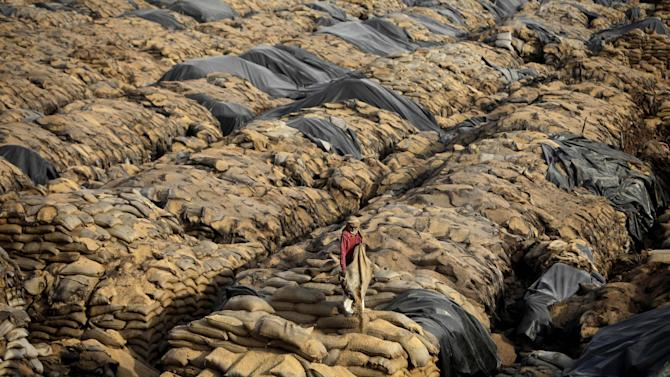 "In this Wednesday, May 9, 2012 photo, a laborer lifts a sack of rotting wheat grain trying to salvage any that was still edible, at an open storage area in Khamanon village, some 215 kilometers (133 miles) from Amritsar, India. Millions of tons of wheat were rotting in the open after India ran out of warehouse space to store its growing grain stockpiles. Food Minister K.V. Thomas said Thursday the government was taking ""all necessary steps"" to increase its storage capacities and that the government was looking at private partnerships to attract investment in building warehouses and new storage spaces would be available by the end of the year. (AP Photo/Altaf Qadri)"