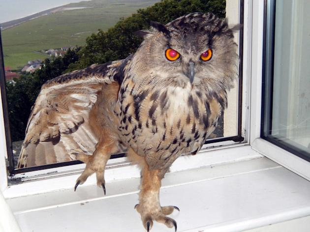 """Eyeballs"", was captured after residents claimed the wild eagle owl had been terrorising residents, attacking a gardener and a poodle. The wild animal had been welcomed into the home of one"