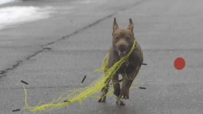 In a photo shot on Tuesday, Feb. 14, 2012, a dog breaks free of a trapping net in Detroit. The mission of Detroit Dog Rescue is to round up all the wild dogs and find them homes. For the dogs that take a little longer to find a landing spot, Detroit Dog Rescue wants to build a shelter designed to comfortably house them. (AP Photo/Carlos Osorio)