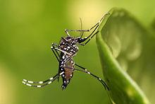 Would You Like Your Mosquitos Original or Genetically Engineered?
