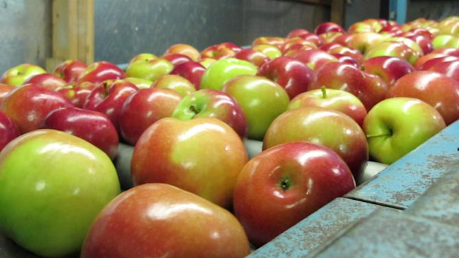 In this Nov. 7, 2013 photo apples moving along a conveyor line at the King Orchards production warehouse in Central Lake, Mich. This year's Michigan apple crop is expected to be 10 times as plentiful as last year's. (AP Photo/John Flesher)
