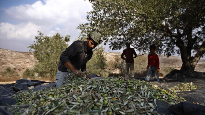 In this photograph made on Monday, Oct. 22, 2012, a Palestinian farmer Khader Khader, 31, sorts olives on his land in Nisf Jubeil, near the West Bank city of Nablus, Monday. In an emerging back-to-the-land movement, Palestinian farmers are turning the rocky hills of the West Bank into organic olive groves, selling their oil to high-end grocers in the U.S. and Europe. (AP Photo/Majdi Mohammed).