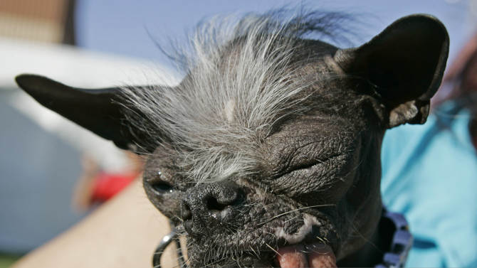 """FILE - In a Friday, June 22, 2007 file photo, the Chinese Crested and Chihuahua mix dog """"Elwood"""" won the title of World's ugliest dog of 2007 at the 2007 World's Ugliest Dog Contest, in Petaluma, Calif. Elwood died unexpectedly on Thanksgiving morning, Nov. 28, 2013, said his owner, Karen Quigley of Sewell,Calif. She said Elwood had been dealing with some heath issues in recent months but appeared to be doing well. (AP Photo/Ben Margot, File)"""