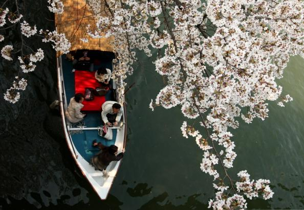 Cherry Blossoms In Full Bloom In Japan