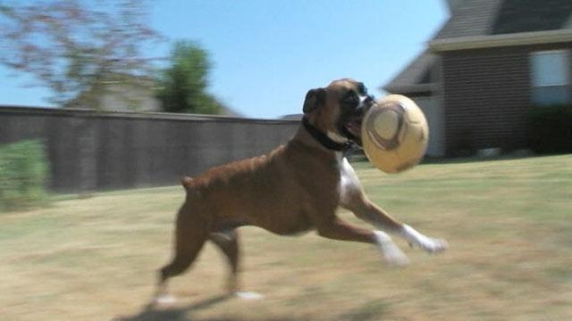 Boxer Helps Other Dogs as Blood Donor