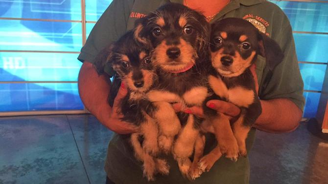 Pet of the Week: 2-month-old terrier mix puppies
