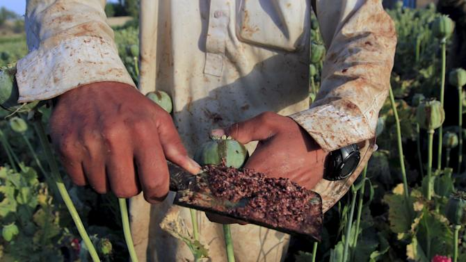 Raw opium from a poppy head is seen at a poppy farmer's field on the outskirts of Jalalabad,