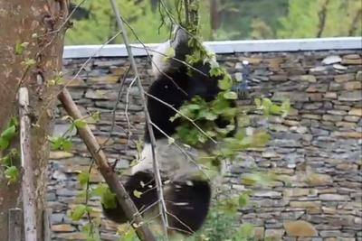 Watch this panda fall out of a tree over and over again, forever
