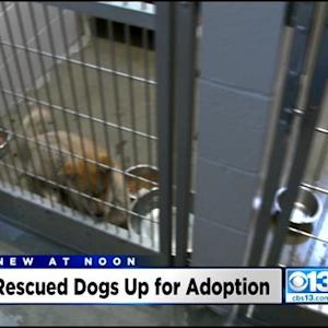 Dogs Saved From Korean Meat Farm Now Up For Adoption
