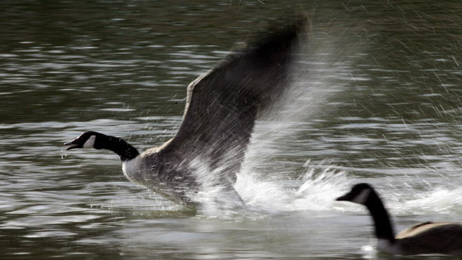 FILE - In this Nov. 18, 2012 file photo, a Canada goose takes off from a pond in Hutchinson, Kan. Bird flu has been found in more than 100 different species of wild birds but most are low pathogenic viruses _ they are present in the bird but do not sicken or kill it. Birds confirmed to have carried the virus currently spreading infection to domestic poultry in the United States include Canada Goose, other waterfowl and predatory birds. (AP Photo/The Hutchinson News, Lindsey Bauman, File)