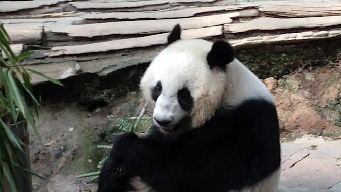 Celebrity panda at center of Thai-China deal