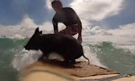 Surfing Pig Zorro Hogs Waves In New Zealand