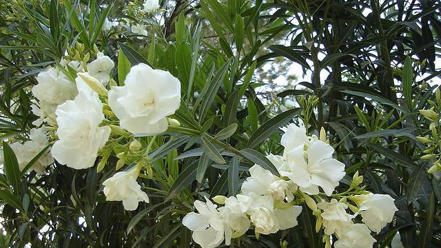 A dozen of the deadliest garden plants oleander