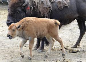 Baby Bison Born Via Embryo Transfer May Boost Species Recovery