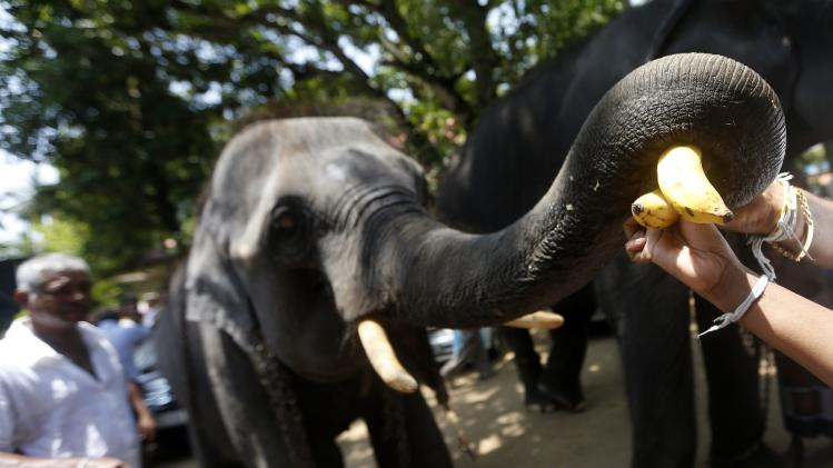 Buddhist devotees feed bananas to a temple's elephant during a ceremony as part of the Sinhala, Hindu and Tamil new year celebrations in Colombo