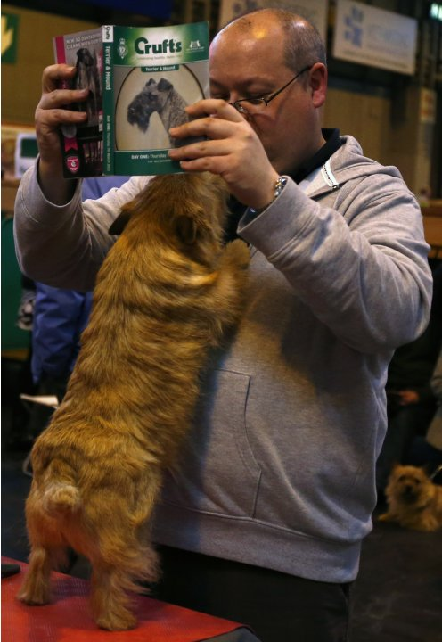 A Norfolk terrier jumps up to its owner as he reads a show guide during the first day of the Crufts Dog Show in Birmingham