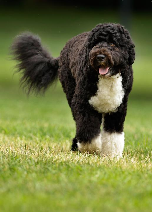 NOW: Bo Obama, the Portugese Water Dog, is the new Black Lab.